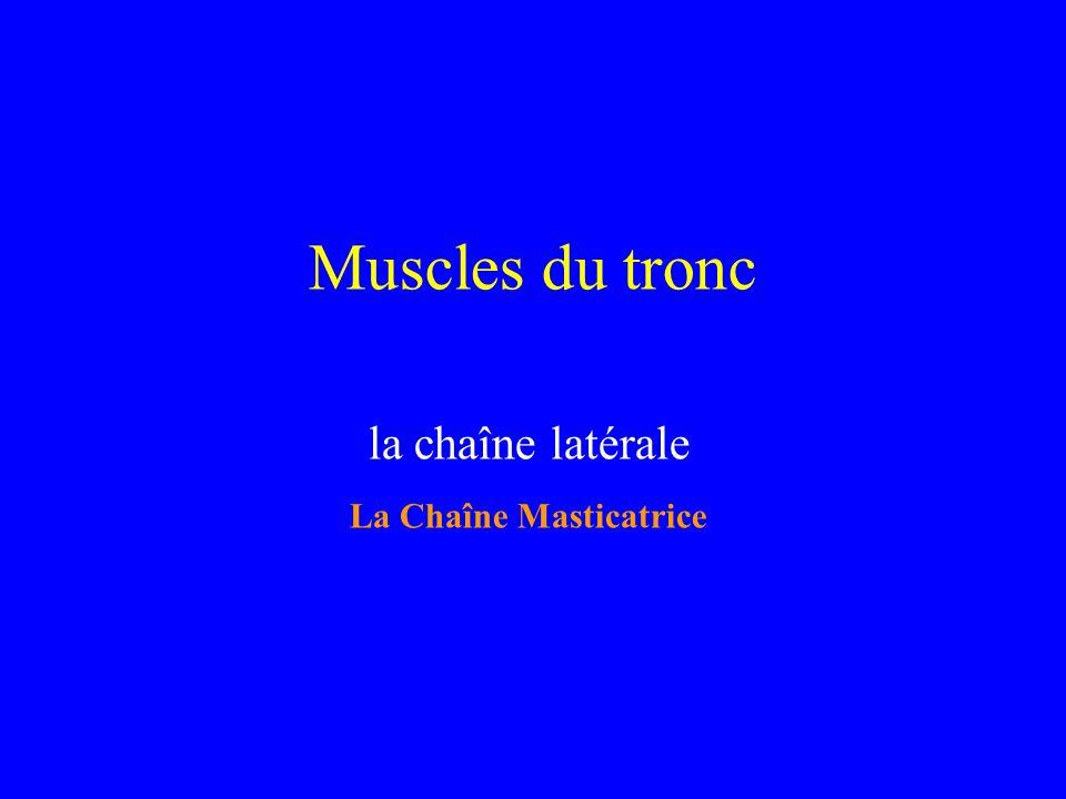 Muscles du tronc la chaîne latérale La Chaîne Masticatrice