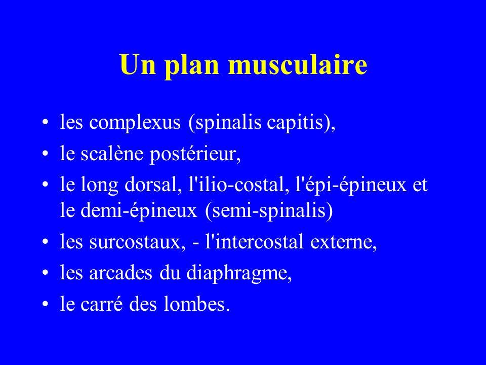 Un plan musculaire les complexus (spinalis capitis), le scalène postérieur, le long dorsal, l'ilio-costal, l'épi-épineux et le demi-épineux (semi-spin