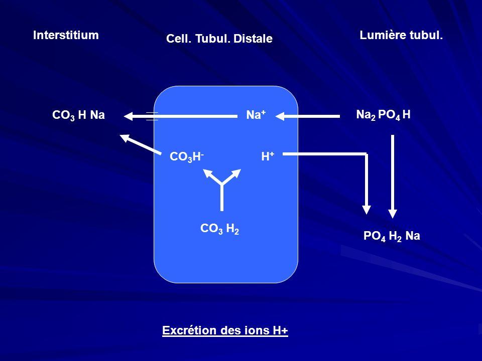 Interstitium Cell. Tubul. Distale Lumière tubul. Na 2 PO 4 H Na + CO 3 H Na CO 3 H - H+H+ CO 3 H 2 Excrétion des ions H+ PO 4 H 2 Na