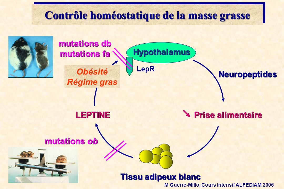 Tissu adipeux blanc LEPTINE Prise alimentaire mutations ob Neuropeptides Hypothalamus LepR mutations db mutations fa Obésité Régime gras Contrôle homé