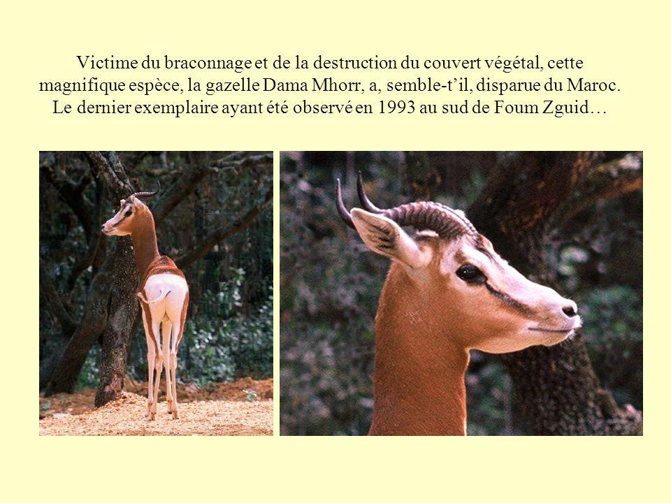 Victime du braconnage et de la destruction du couvert végétal, cette magnifique espèce, la gazelle Dama Mhorr, a, semble-til, disparue du Maroc. Le de
