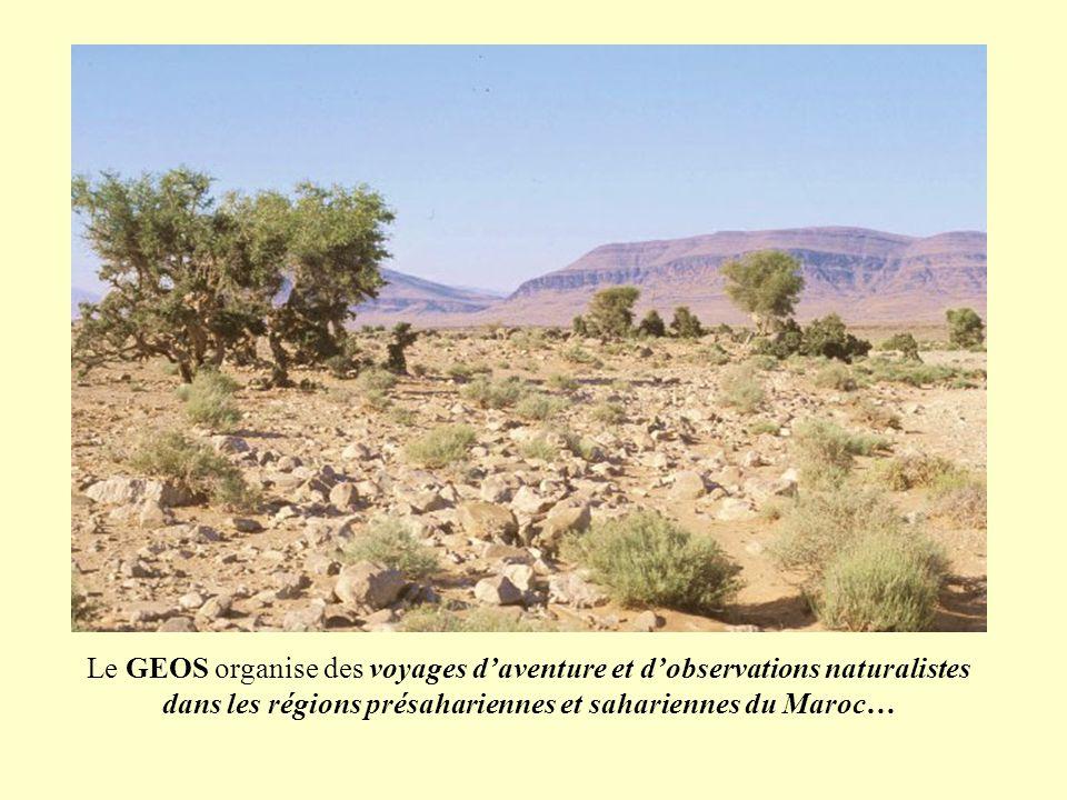 Le GEOS organise des voyages daventure et dobservations naturalistes dans les régions présahariennes et sahariennes du Maroc…