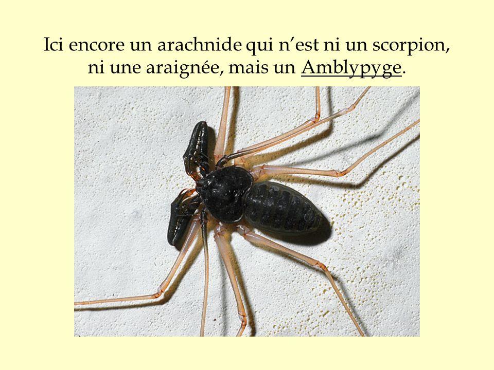 Ici encore un arachnide qui nest ni un scorpion, ni une araignée, mais un Amblypyge.