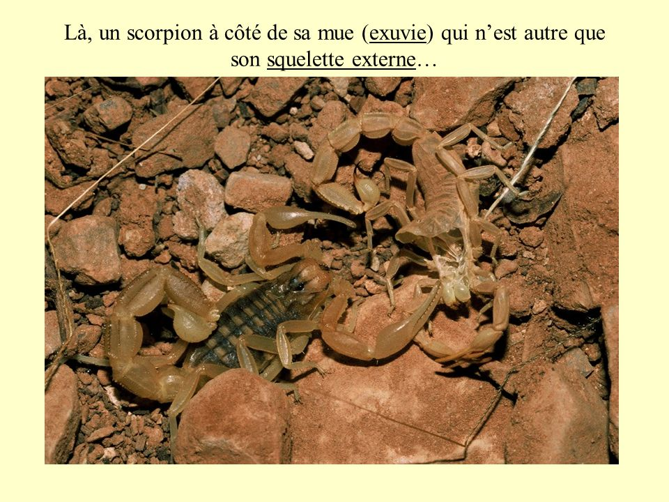 Là, un scorpion à côté de sa mue (exuvie) qui nest autre que son squelette externe…