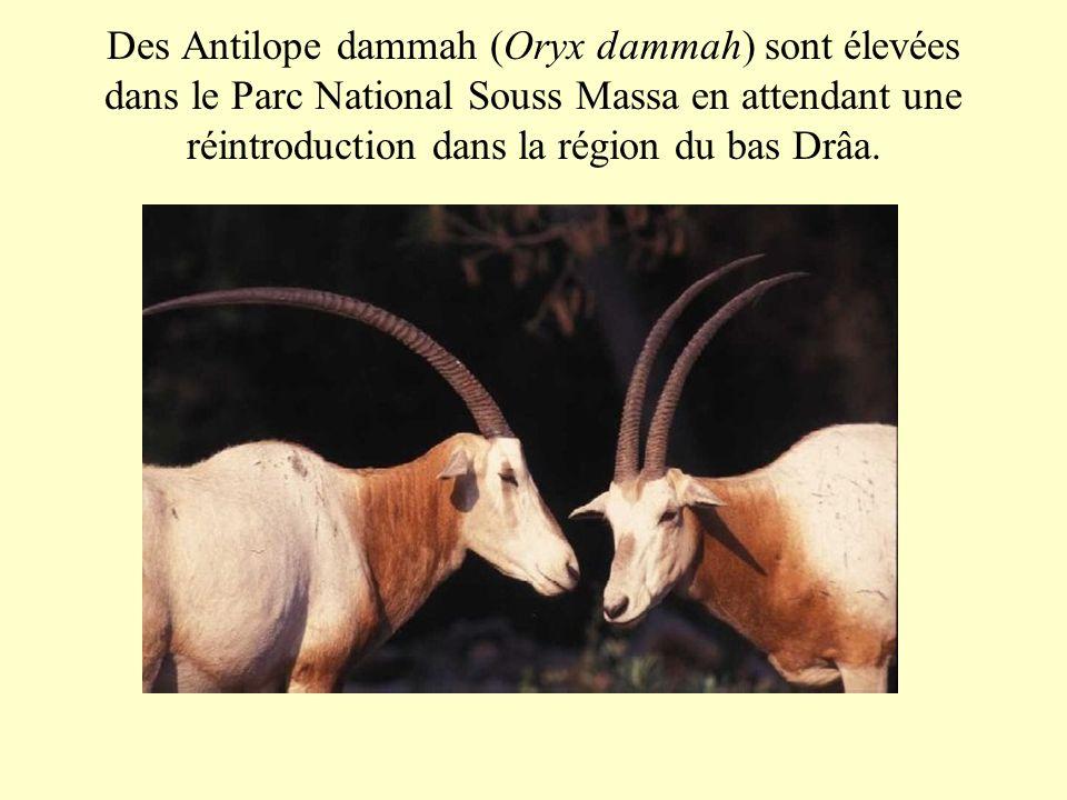 Des Antilope dammah (Oryx dammah) sont élevées dans le Parc National Souss Massa en attendant une réintroduction dans la région du bas Drâa.