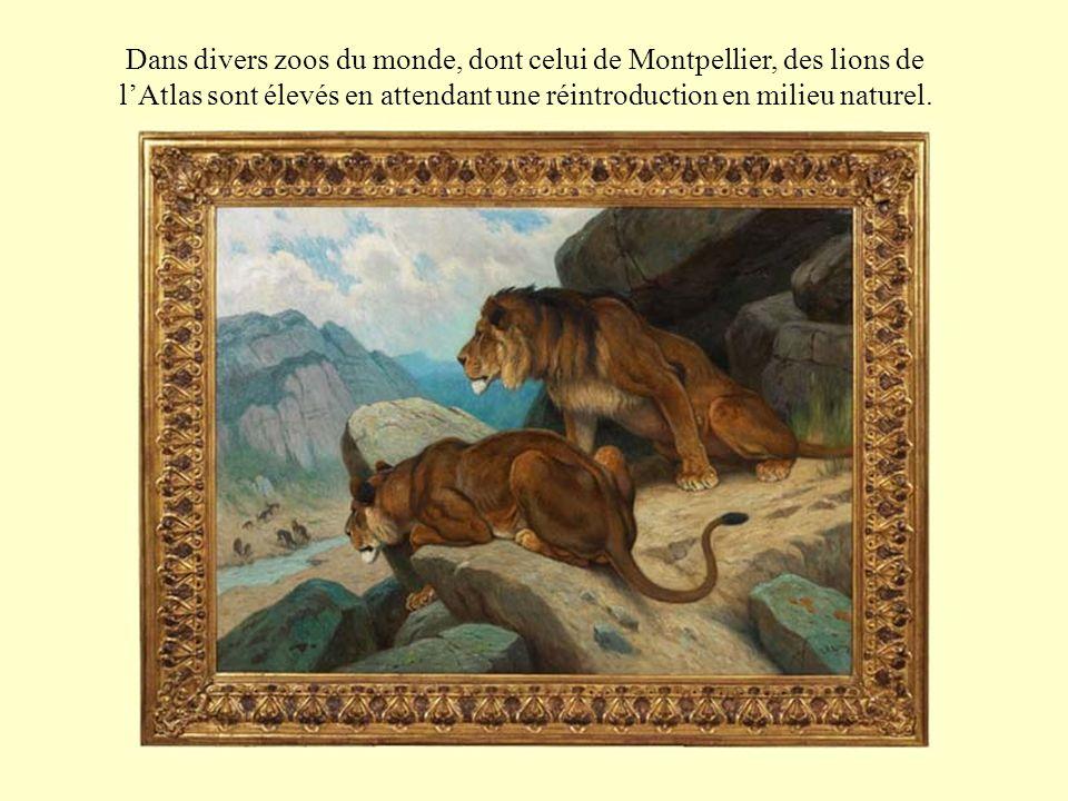 Dans divers zoos du monde, dont celui de Montpellier, des lions de lAtlas sont élevés en attendant une réintroduction en milieu naturel.