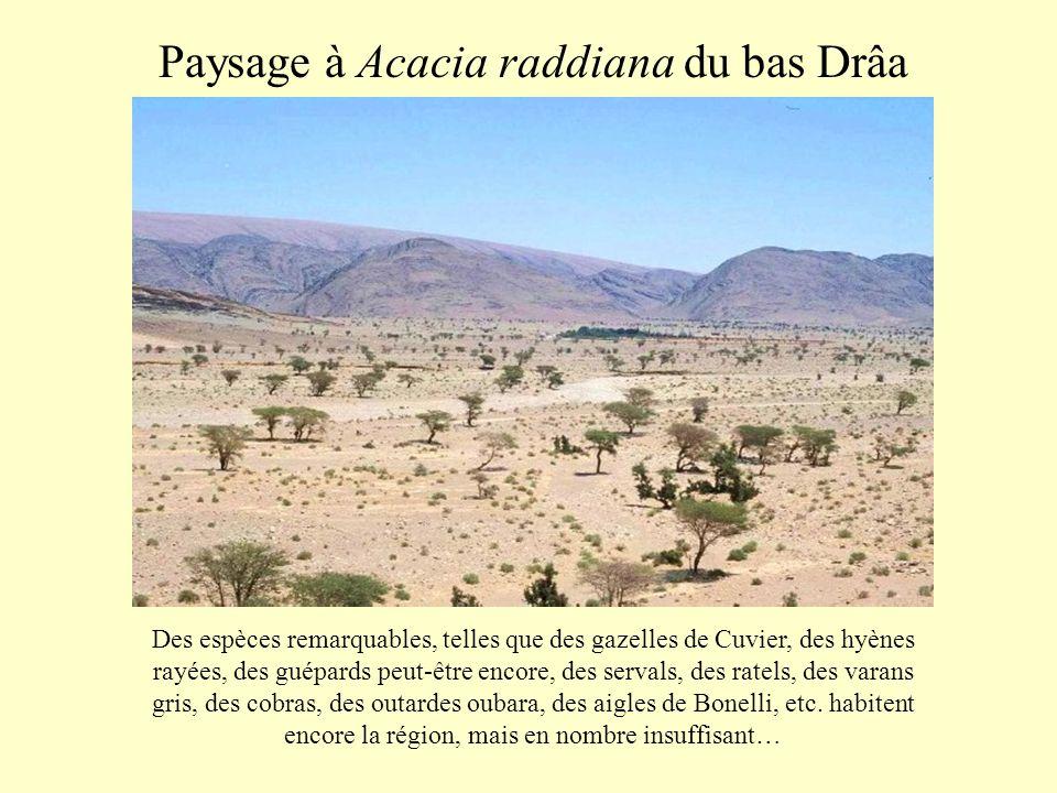 Paysage à Acacia raddiana du bas Drâa Des espèces remarquables, telles que des gazelles de Cuvier, des hyènes rayées, des guépards peut-être encore, d