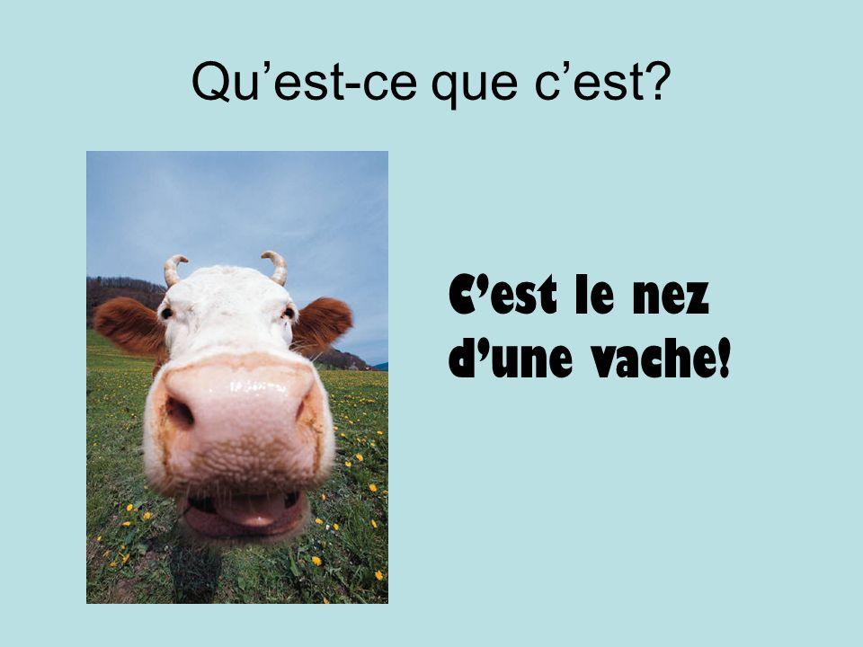 Quest-ce que cest? Cest le nez dune vache!