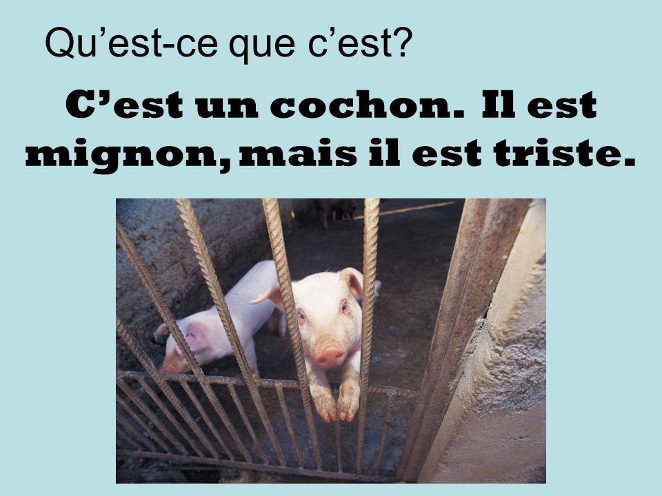 Quest-ce que cest Cest un cochon. Il est mignon, mais il est triste.