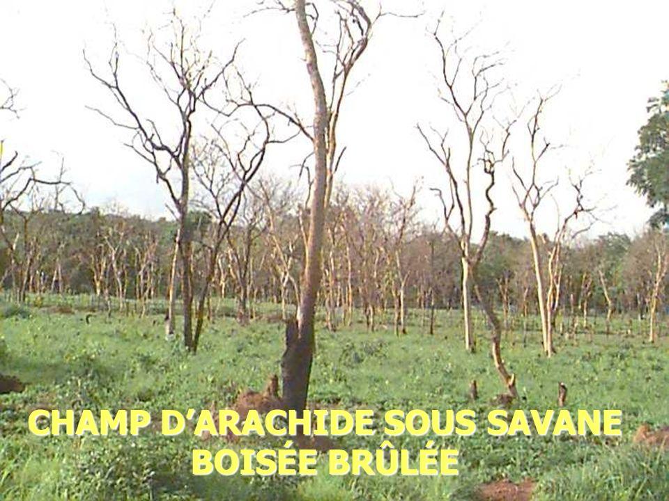 2014-01-03 Elhadj Maadjou BAH, Coordonnateur P. Biodiversité25 CHAMP DARACHIDE SOUS SAVANE BOISÉE BRÛLÉE