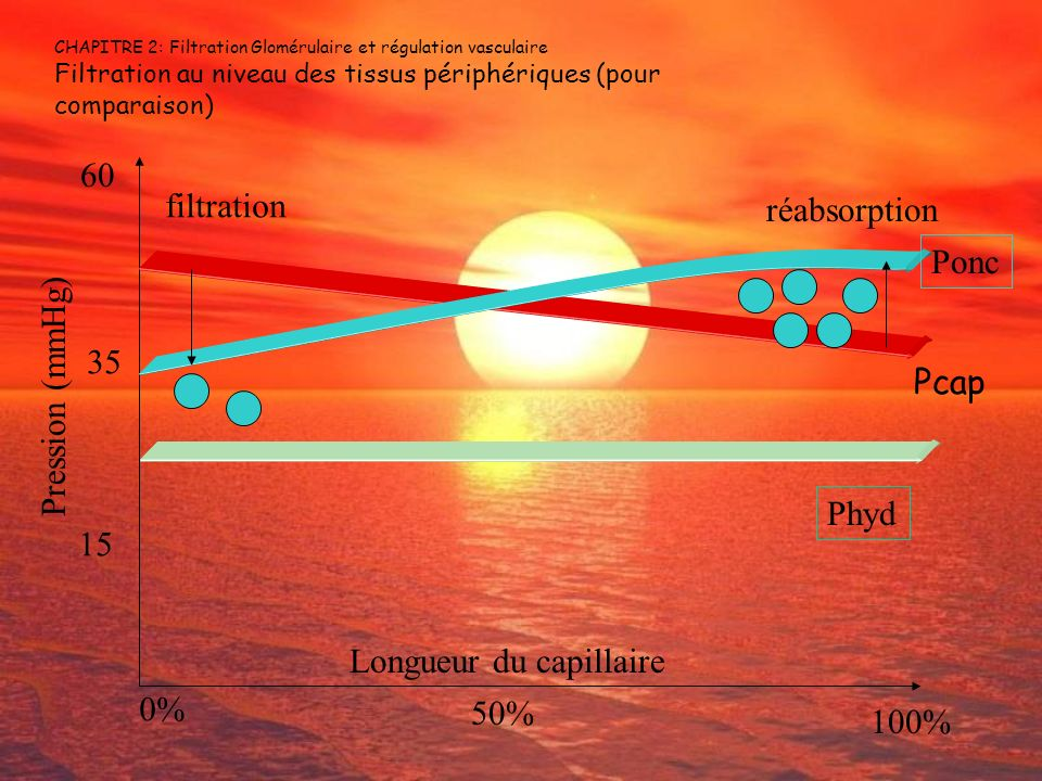 CHAPITRE 2: Filtration Glomérulaire et régulation vasculaire Filtration au niveau des tissus périphériques (pour comparaison) 15 35 60 Pression (mmHg)