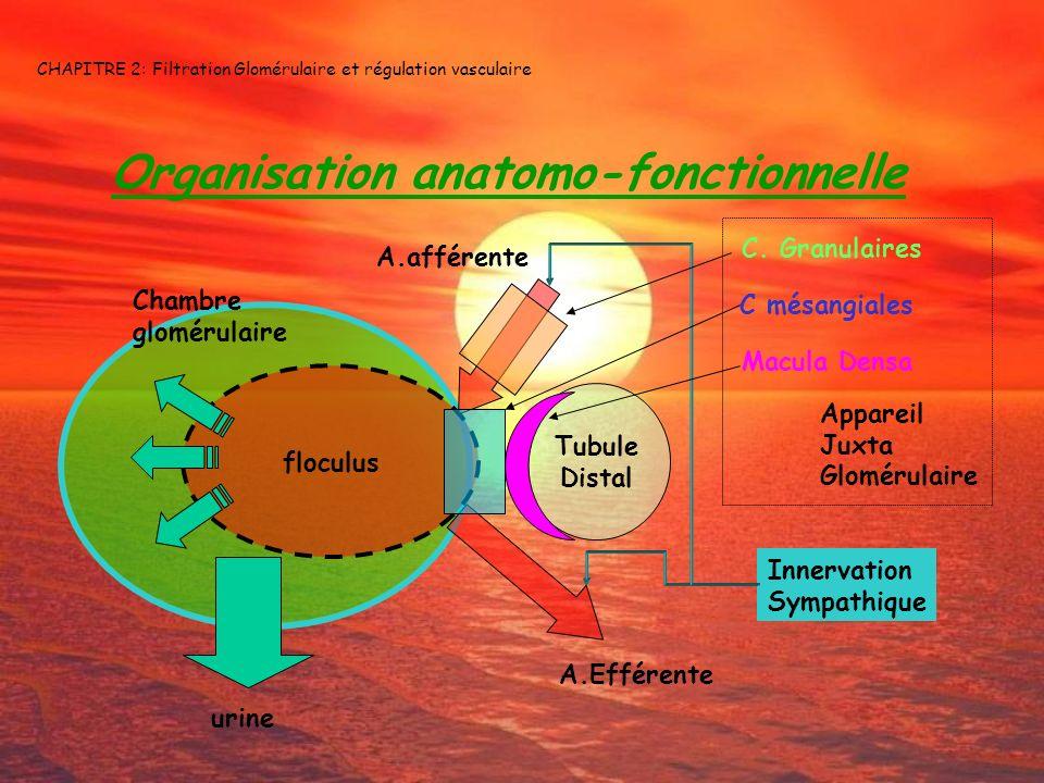 CHAPITRE 2: Filtration Glomérulaire et régulation vasculaire Organisation anatomo-fonctionnelle floculus Tubule Distal A.Efférente A.afférente Chambre