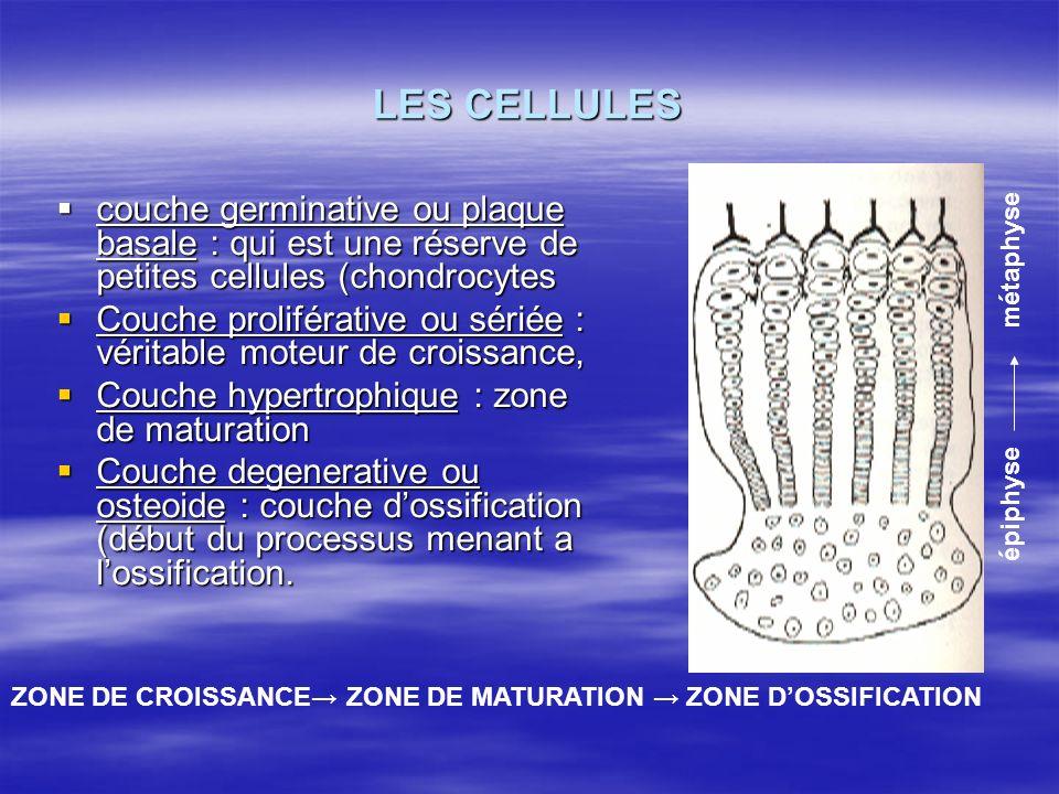 LES CELLULES couche germinative ou plaque basale : qui est une réserve de petites cellules (chondrocytes couche germinative ou plaque basale : qui est