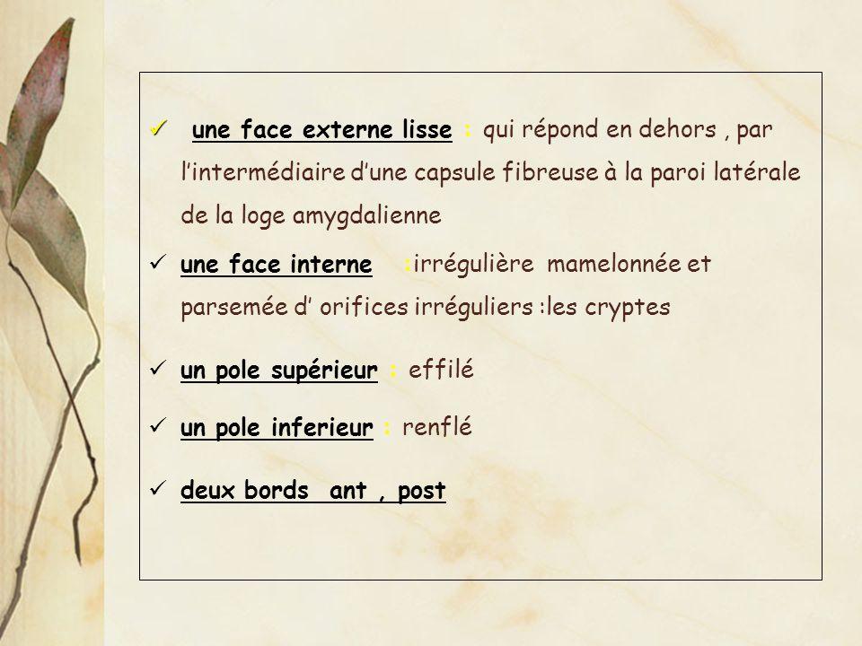 une face externe lisse : qui répond en dehors, par lintermédiaire dune capsule fibreuse à la paroi latérale de la loge amygdalienne une face interne :