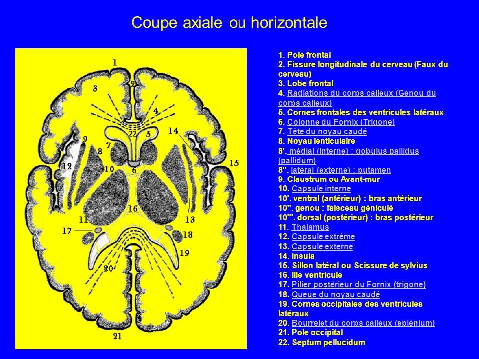 . 1. Pole frontal 2. Fissure longitudinale du cerveau (Faux du cerveau) 3. Lobe frontal 4. Radiations du corps calleux (Genou du corps calleux) 5. Cor