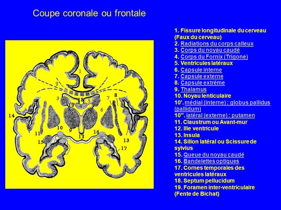 1. Fissure longitudinale du cerveau (Faux du cerveau) 2. Radiations du corps calleux 3. Corps du noyau caudé 4. Corps du Fornix (Trigone) 5. Ventricul