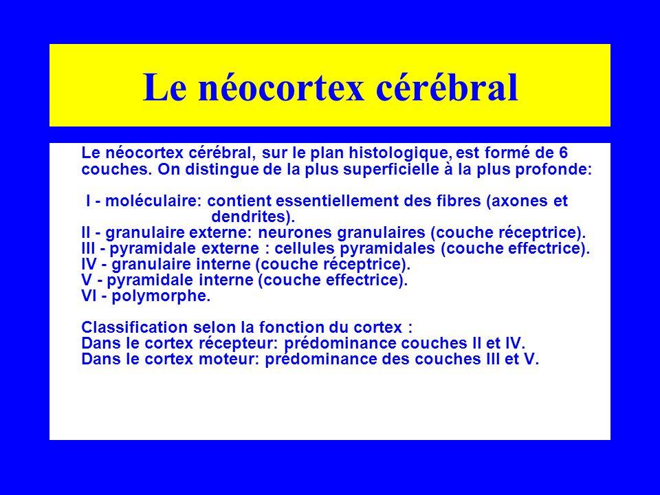 Le néocortex cérébral Le néocortex cérébral, sur le plan histologique, est formé de 6 couches. On distingue de la plus superficielle à la plus profond