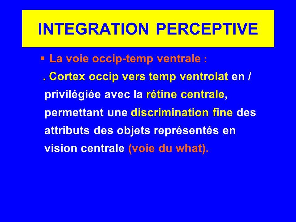 INTEGRATION PERCEPTIVE La voie occip-temp ventrale :. Cortex occip vers temp ventrolat en / privilégiée avec la rétine centrale, permettant une discri