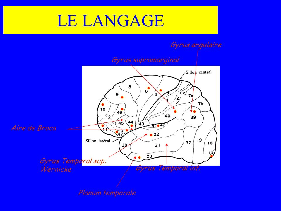 LE LANGAGE Aire de Broca Gyrus supramarginal Gyrus angulaire Gyrus Temporal sup. Wernicke Gyrus Temporal inf. Planum temporale
