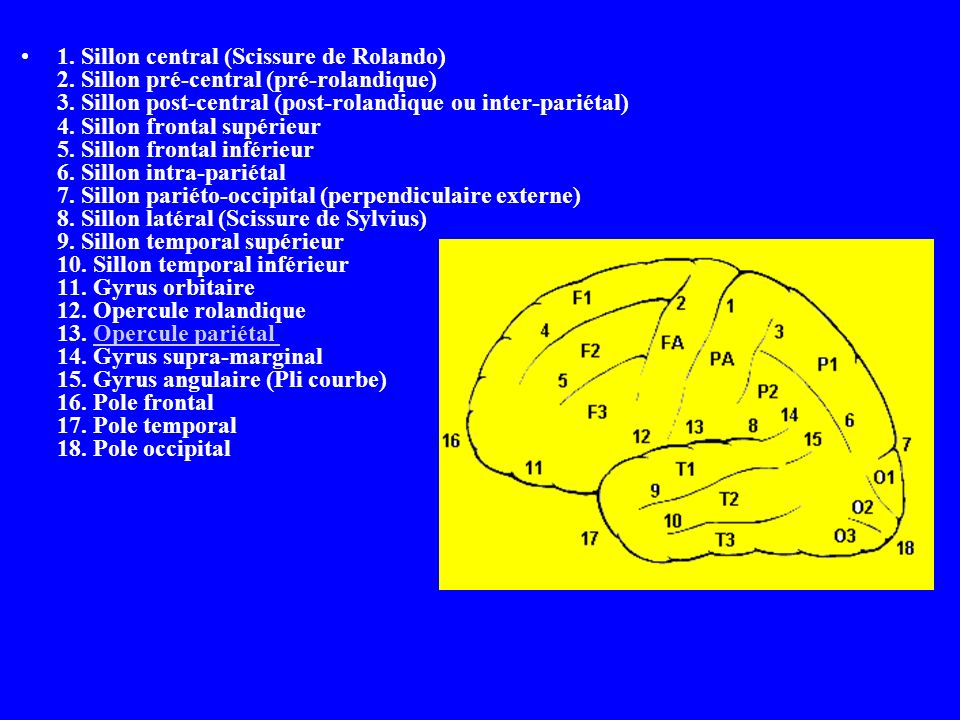 1. Sillon central (Scissure de Rolando) 2. Sillon pré-central (pré-rolandique) 3. Sillon post-central (post-rolandique ou inter-pariétal) 4. Sillon fr