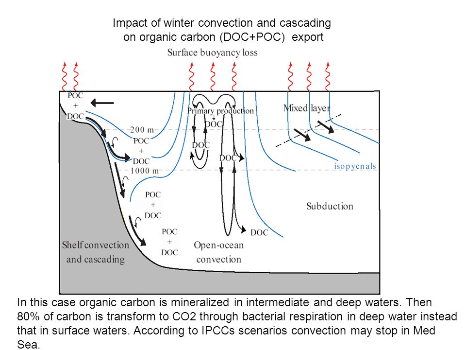 Impact of winter convection and cascading on organic carbon (DOC+POC) export In this case organic carbon is mineralized in intermediate and deep water