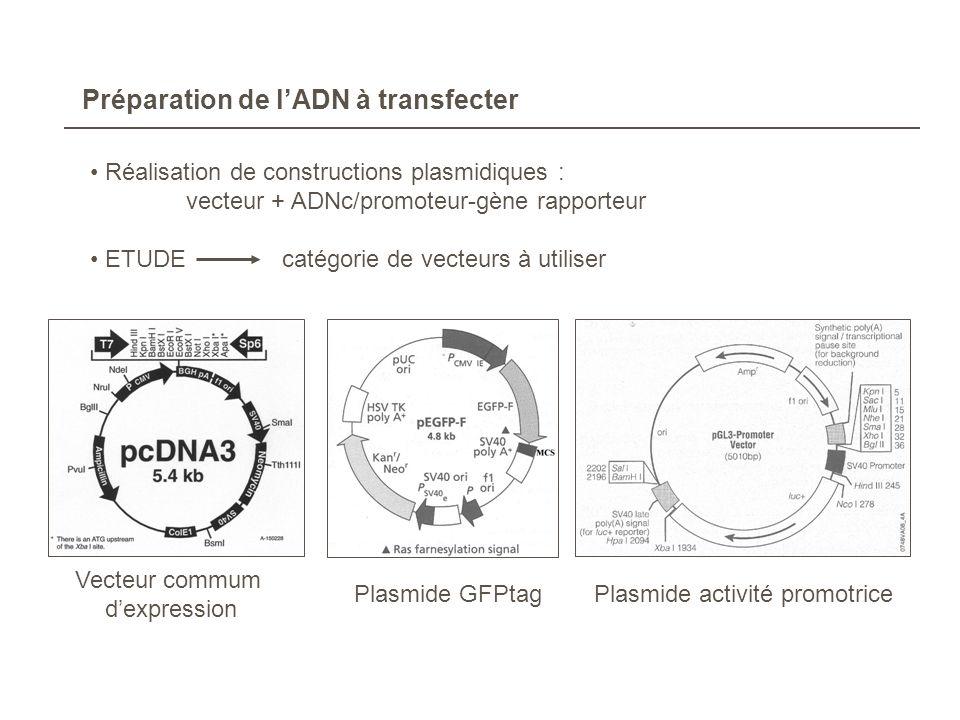 Préparation de lADN à transfecter Réalisation de constructions plasmidiques : vecteur + ADNc/promoteur-gène rapporteur ETUDEcatégorie de vecteurs à ut