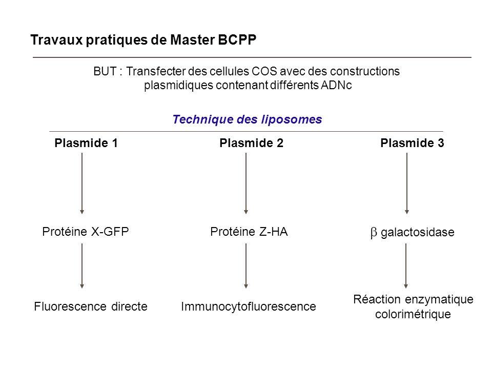 Travaux pratiques de Master BCPP BUT : Transfecter des cellules COS avec des constructions plasmidiques contenant différents ADNc Technique des liposo