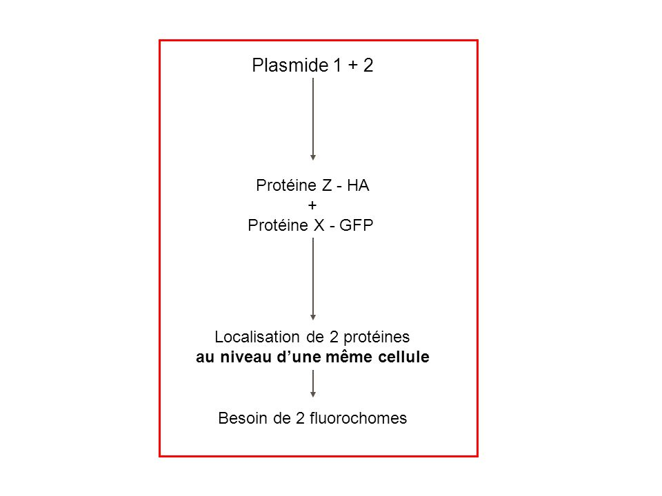 Plasmide 1 + 2 Protéine Z - HA + Protéine X - GFP Localisation de 2 protéines au niveau dune même cellule Besoin de 2 fluorochomes
