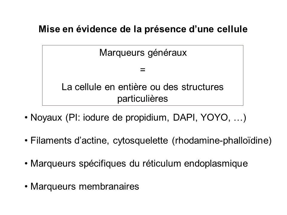 Noyaux (PI: iodure de propidium, DAPI, YOYO, …) Filaments dactine, cytosquelette (rhodamine-phalloïdine) Marqueurs spécifiques du réticulum endoplasmi