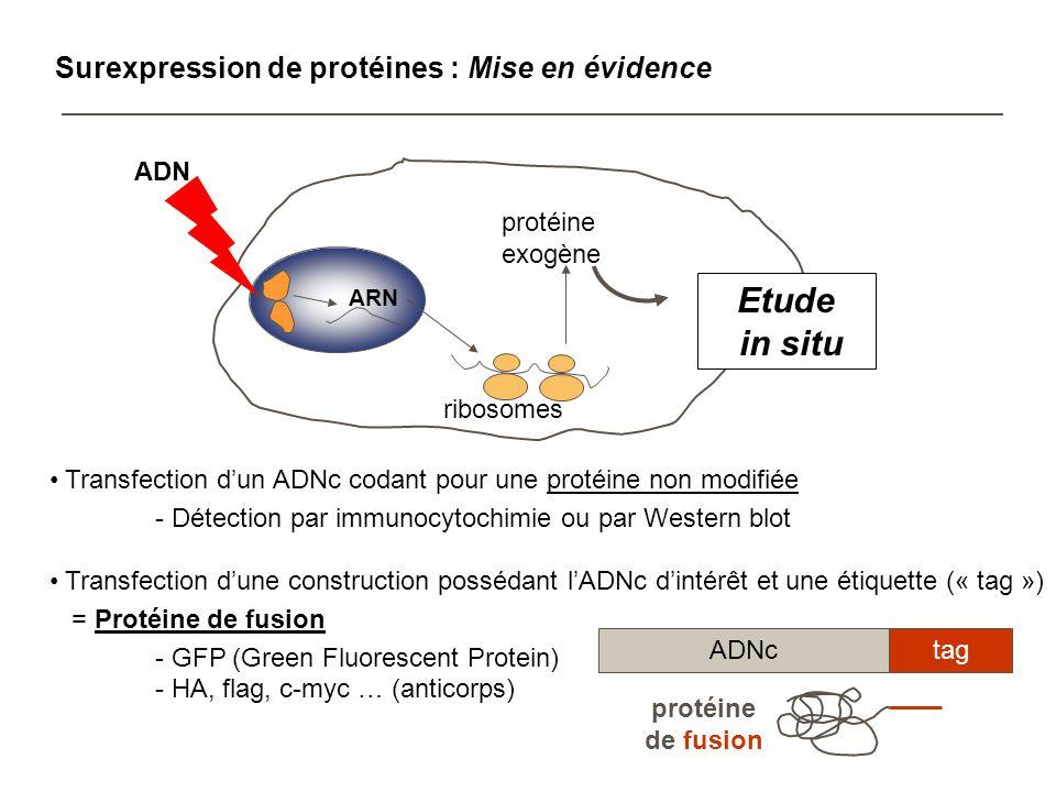 Etude de lactivité dun promoteur : Mise en évidence promoteurgène rapporteur galactosidase Effet de facteurs endogènes (facteurs de transcription) Effet de facteurs exogènes sur lactivité du promoteur - facteurs de croissance ajoutés dans le milieu de culture - transfection avec une 2 ème construction codant pour une protéine pouvant réguler le promoteur étudié = co-transfection -galactosidase (spectrophotomètre) Luciférase (luminescence) ribosomes ARN protéine exogène ADN in situ galactosidase lysat protéique activité enzymatique galactosidase Mesure quantitative