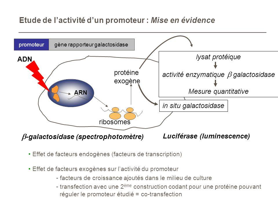 Etude de lactivité dun promoteur : Mise en évidence promoteurgène rapporteur galactosidase Effet de facteurs endogènes (facteurs de transcription) Eff