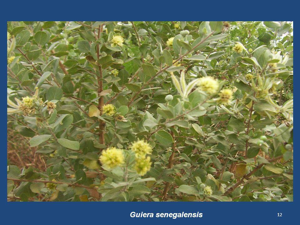 12 Guiera senegalensis