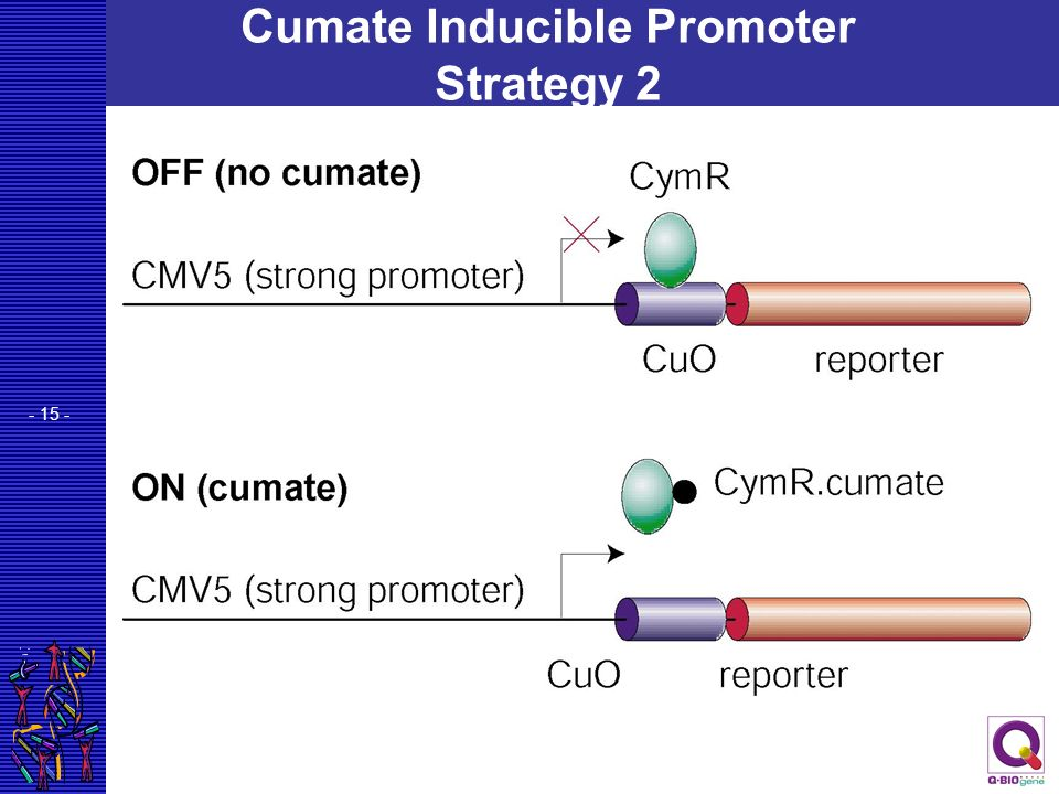 - 15 - Cumate Inducible Promoter Strategy 2
