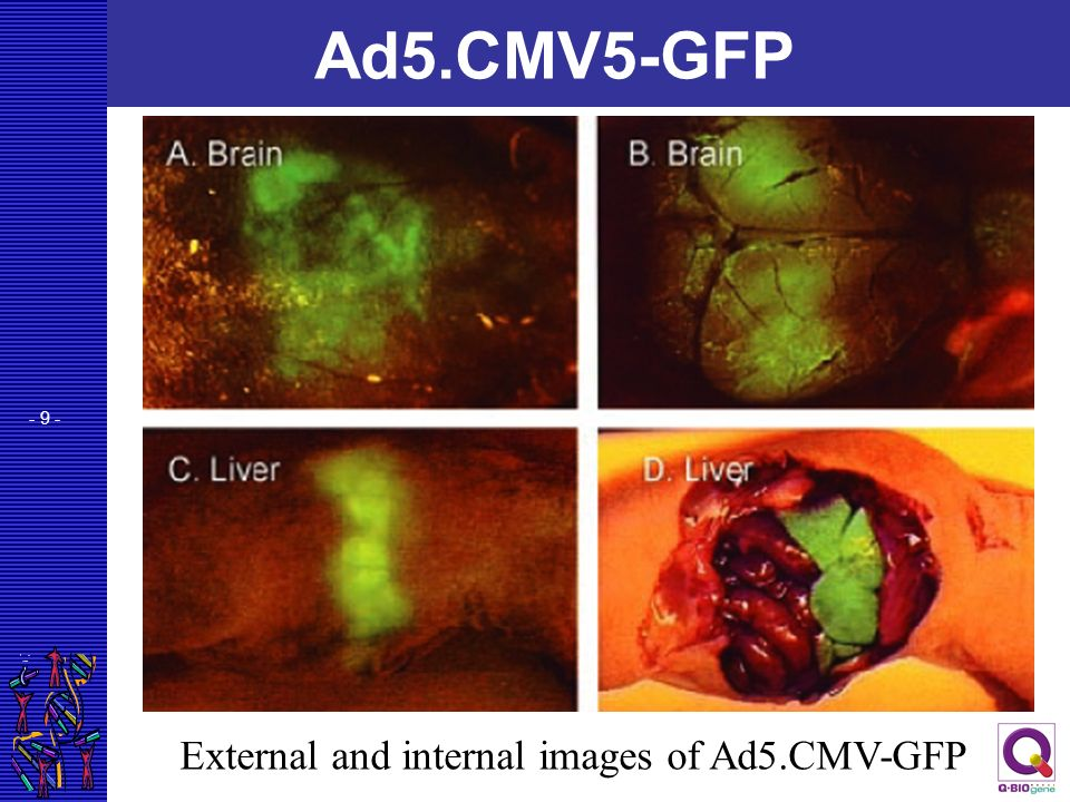 - 9 - Ad5.CMV5-GFP External and internal images of Ad5.CMV-GFP