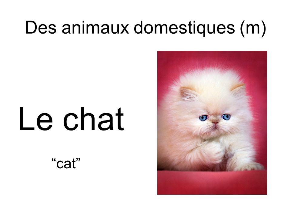 Des animaux domestiques (m) Le chat cat