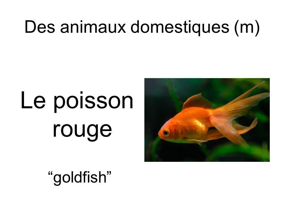 Des animaux domestiques (m) Le poisson rouge goldfish