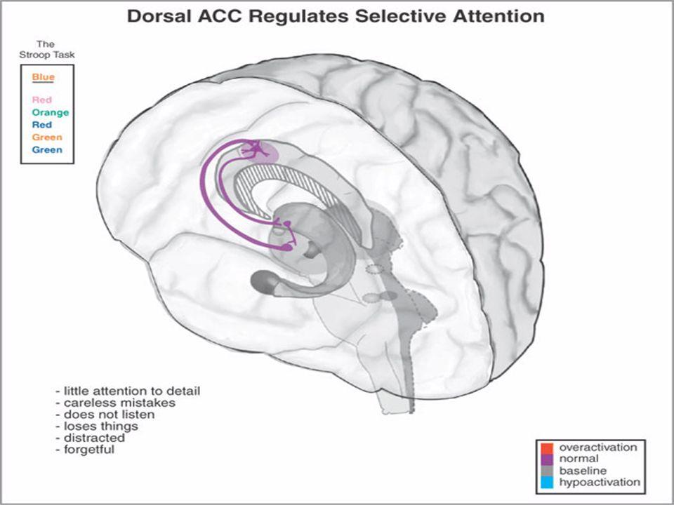 TDAH Cortex cingulaire antérieur : Lattention sélective est modulée par une boucle cortico-striato- thalamico-corticale émergeant du cortex cingulaire