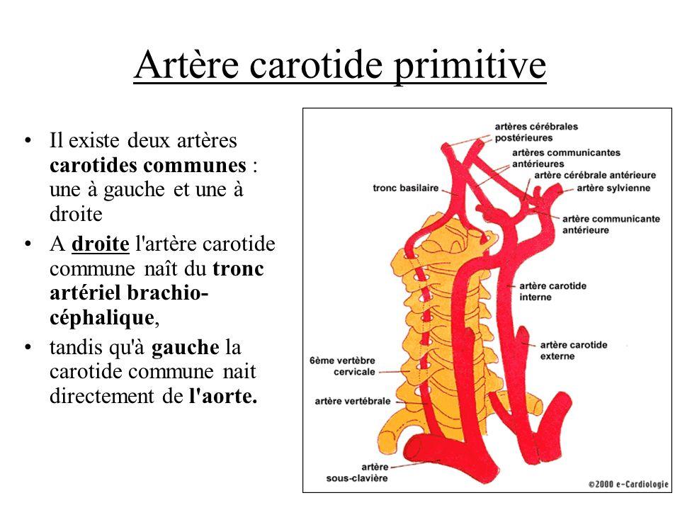 Artère carotide primitive Il existe deux artères carotides communes : une à gauche et une à droite A droite l'artère carotide commune naît du tronc ar