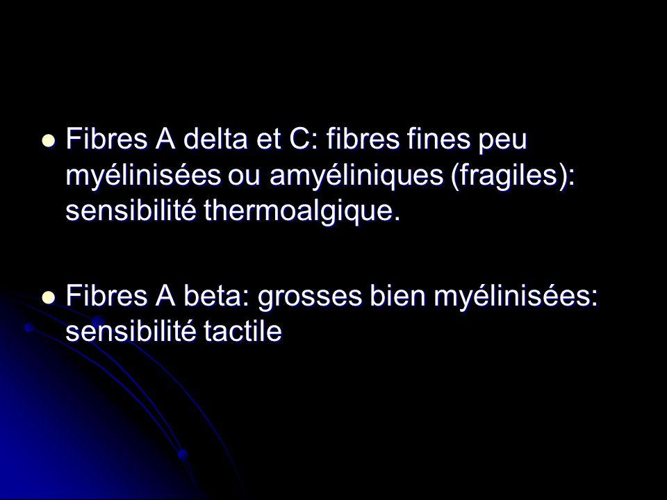 Fibres A delta et C: fibres fines peu myélinisées ou amyéliniques (fragiles): sensibilité thermoalgique. Fibres A delta et C: fibres fines peu myélini