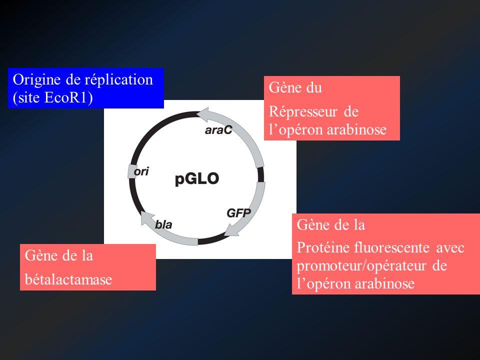 Gène de la ……………… Gène de la Gène du ……………… bétalactamase Protéine fluorescente avec promoteur/opérateur de lopéron arabinose Répresseur de lopéron ar