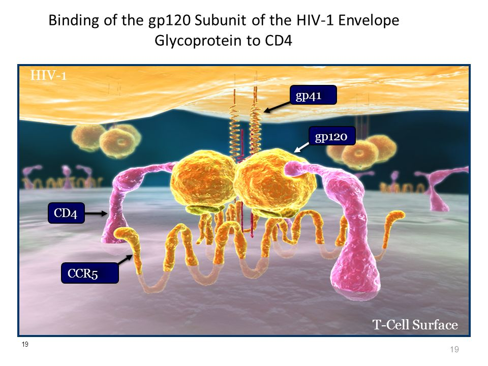 19 Binding of the gp120 Subunit of the HIV-1 Envelope Glycoprotein to CD4 19 HIV-1 T-Cell Surface CD4 CCR5 gp120 gp41