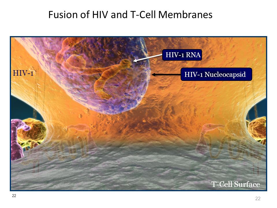 22 Fusion of HIV and T-Cell Membranes 22 HIV-1 T-Cell Surface HIV-1 Nucleocapsid HIV-1 RNA