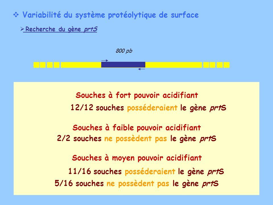 Variabilité du système protéolytique de surface Recherche du gène prtS 800 pb 11/16 souches posséderaient le gène prtS 12/12 souches posséderaient le