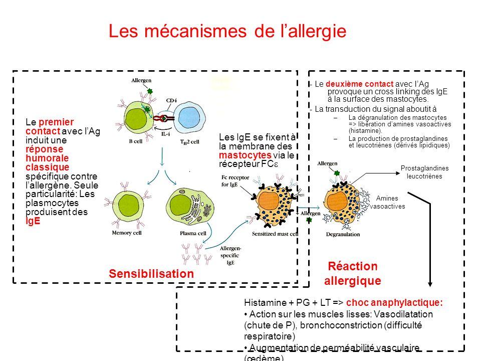 Les mécanismes de lallergie Le premier contact avec lAg induit une réponse humorale classique spécifique contre lallergène. Seule particularité: Les p