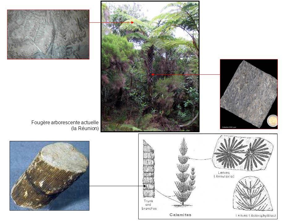 Fougère arborescente actuelle (la Réunion)