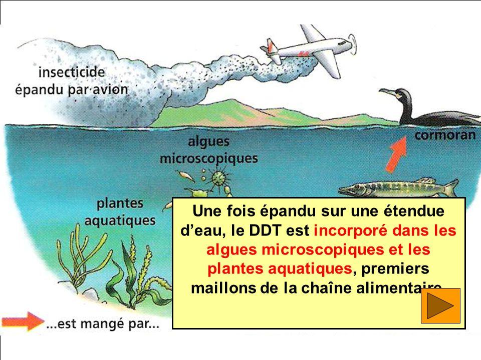 Une fois épandu sur une étendue deau, le DDT est incorporé dans les algues microscopiques et les plantes aquatiques, premiers maillons de la chaîne al