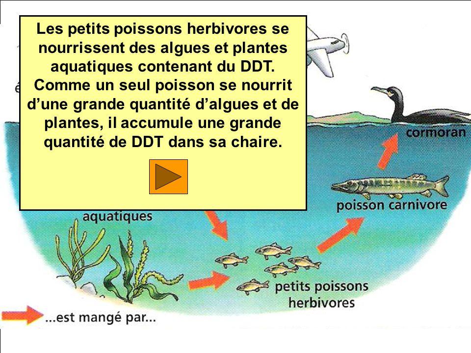 Les petits poissons herbivores se nourrissent des algues et plantes aquatiques contenant du DDT. Comme un seul poisson se nourrit dune grande quantité