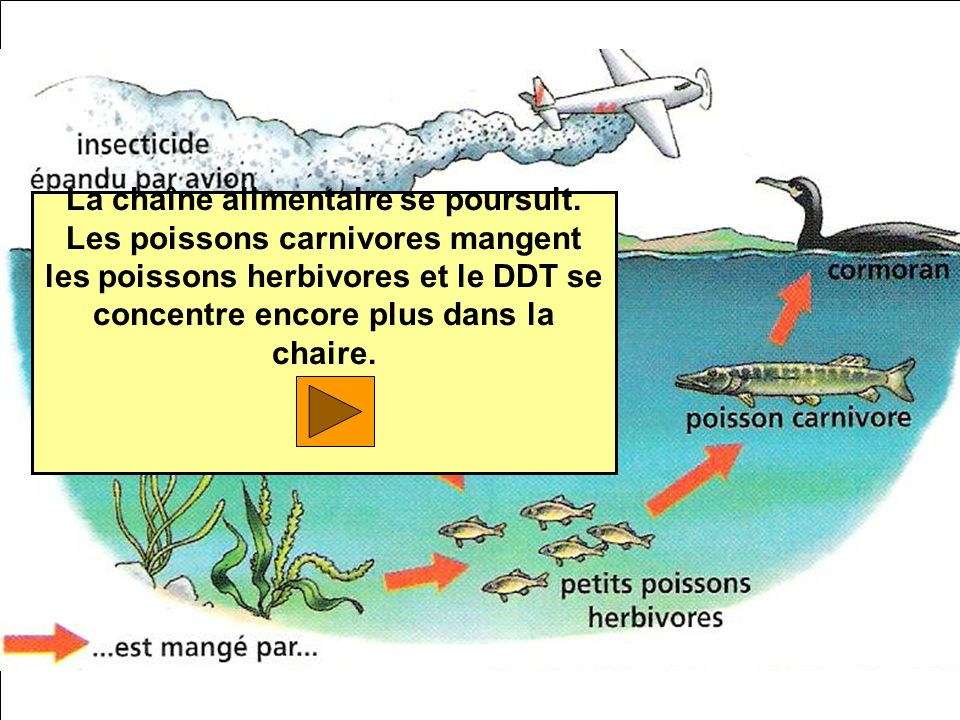 La chaîne alimentaire se poursuit. Les poissons carnivores mangent les poissons herbivores et le DDT se concentre encore plus dans la chaire.
