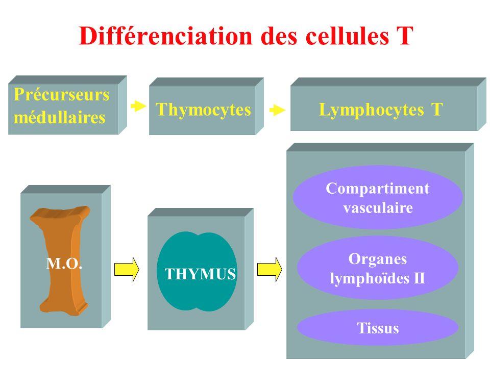 THYMUS Compartiment vasculaire Tissus M.O. Précurseurs médullaires Lymphocytes T Différenciation des cellules T ThymocytesLymphocytes T Organes lympho