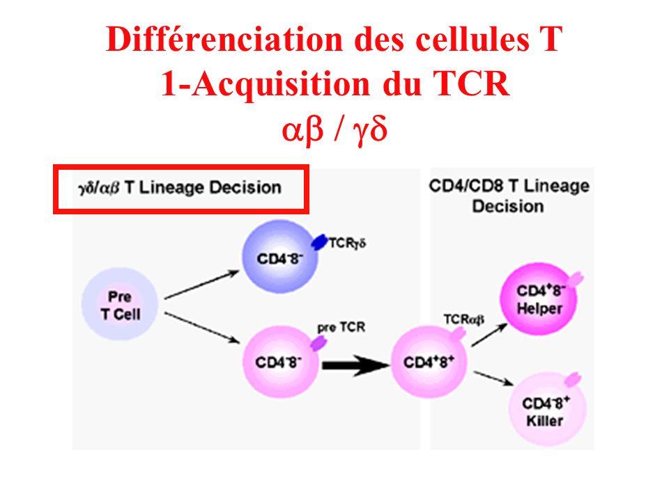 Différenciation des cellules T 1-Acquisition du TCR